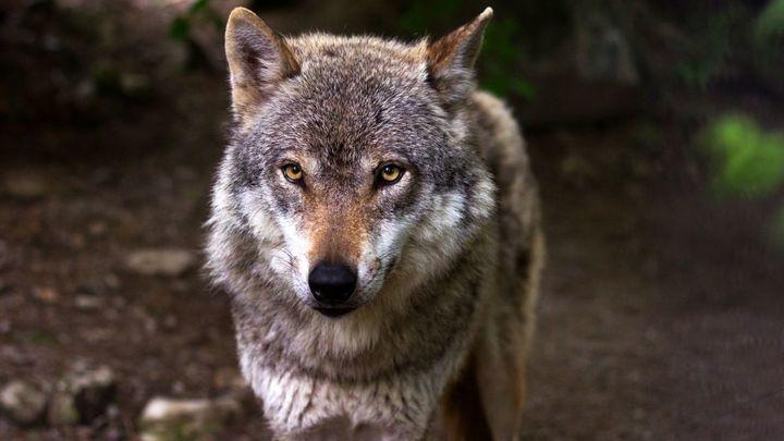 """Jacinto, ganadero, ante el fin de la caza de lobos: """"Nos sentimos desprotegidos"""""""