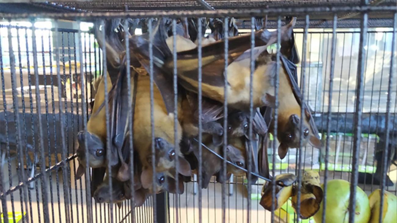 Incautados 30 murciélagos, una boa constrictor y una pitón en la feria Expoterraria de Madrid