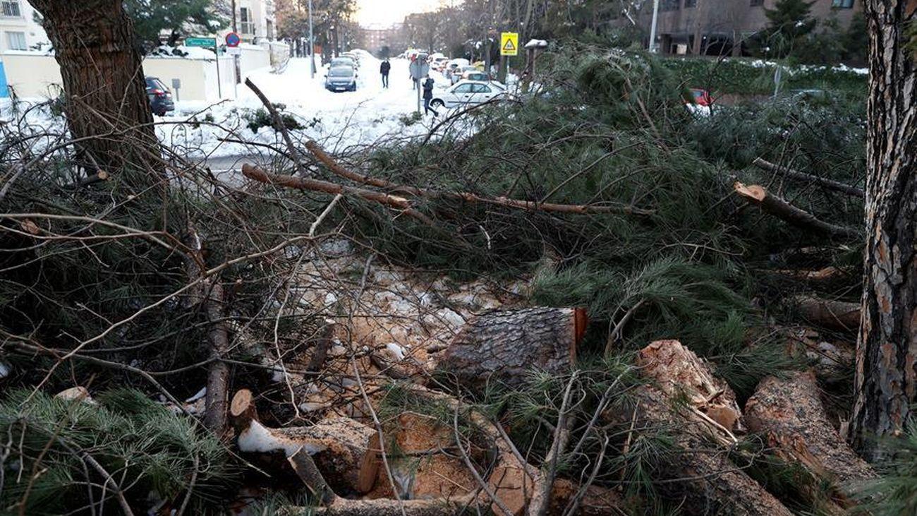Más de 600 árboles para las calles y parques afectados por Filomena en Rivas