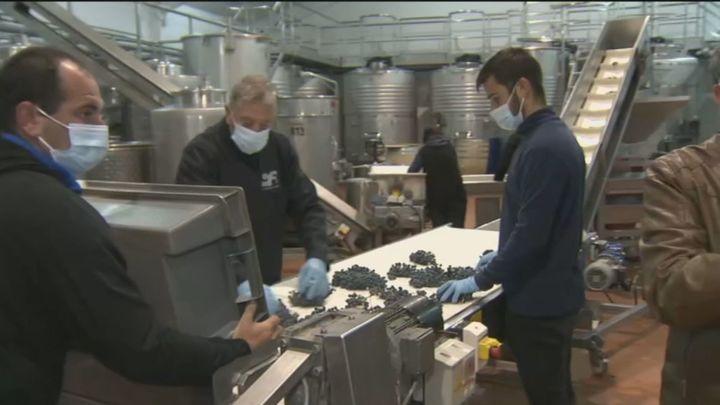 Termina la recolección de la uva en Madrid y comienza la elaboración del vino