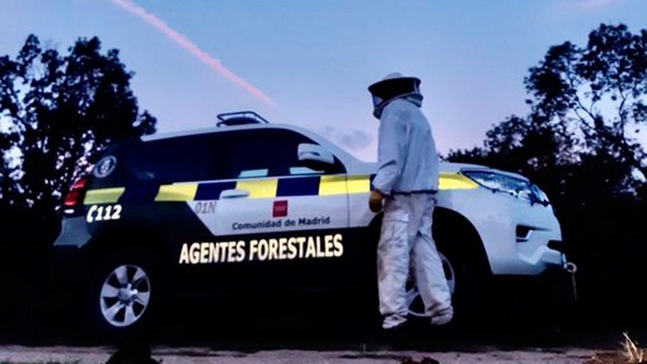 Agentes forestales de la Comunidad retiran un nido de avispones en Alameda del Valle