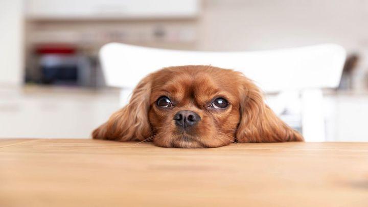 Quien quiera adoptar un perro tendrá que realizar un curso