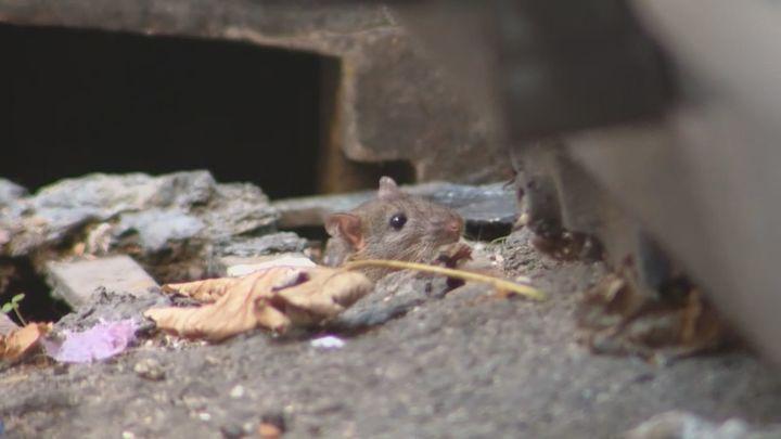 Los vecinos de Puente de Vallecas denuncian una plaga de ratas