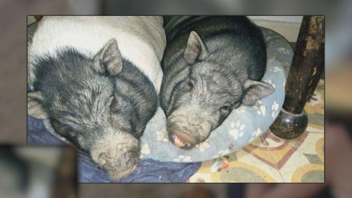 Buscan a Jacobo y Saturnino, dos 'mini pig' desaparecidos en Valdemaqueda