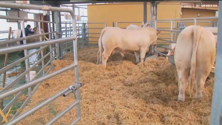 Colmenar Viejo ultima los preparativos de la subasta nacional de ganado selecto y de raza pura