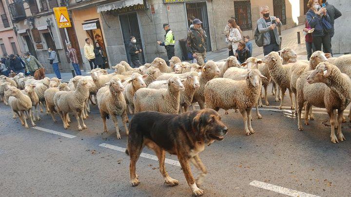 Mil ovejas y cien cabras cruzan Madrid en la Fiesta de la Transhumancia
